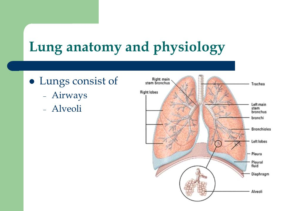 Großartig Normal Anatomy And Physiology Of The Lungs Galerie ...