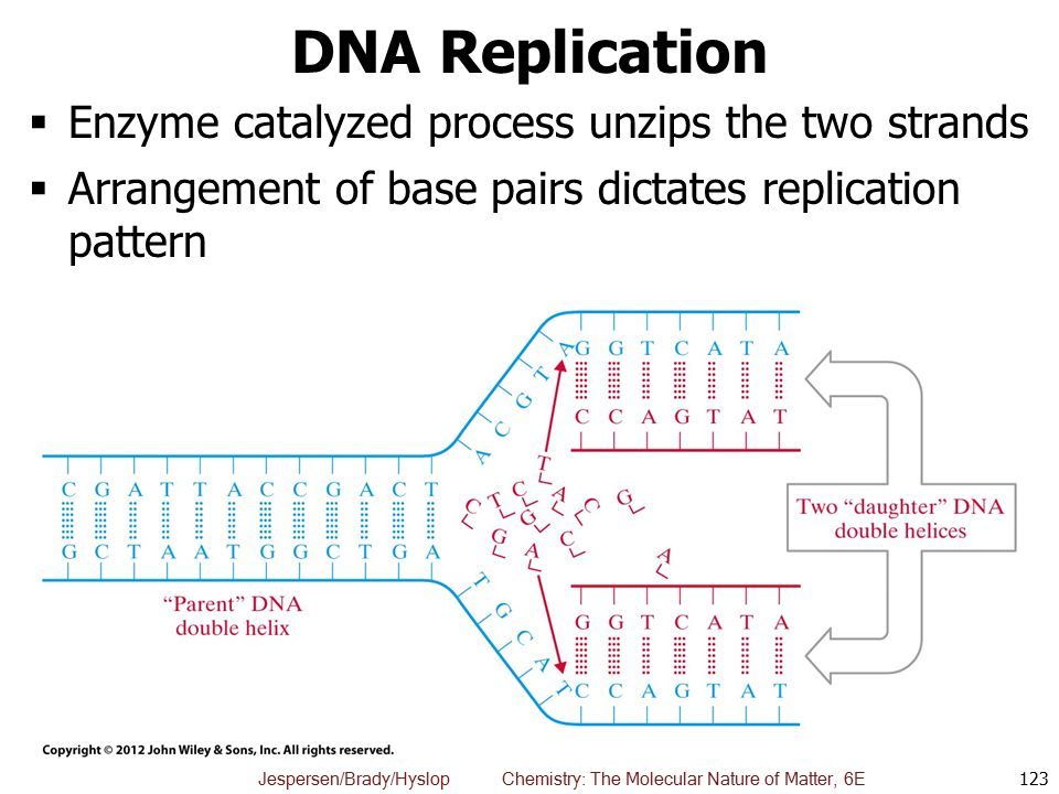 DNA Replication Enzyme catalyzed process unzips the two strands