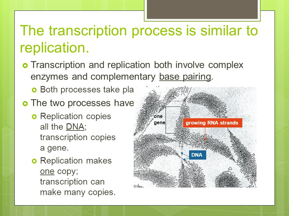 The transcription process is similar to replication.