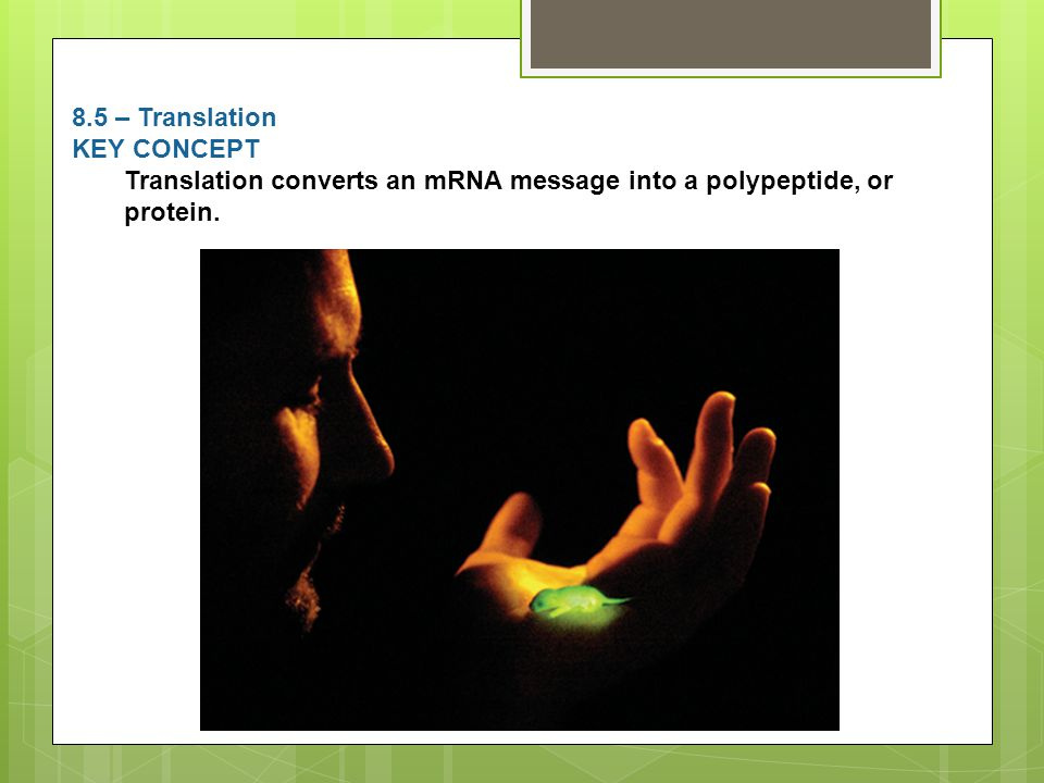 8.5 – Translation KEY CONCEPT Translation converts an mRNA message into a polypeptide, or protein.