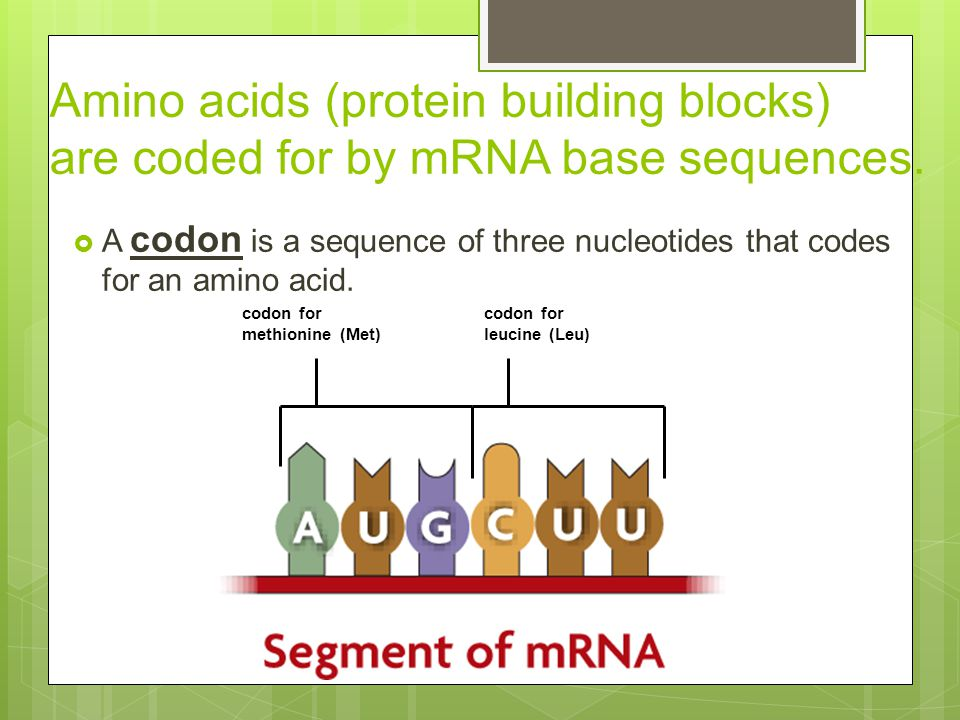 Amino acids (protein building blocks) are coded for by mRNA base sequences.