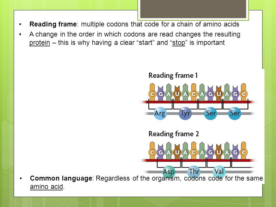 Reading frame: multiple codons that code for a chain of amino acids