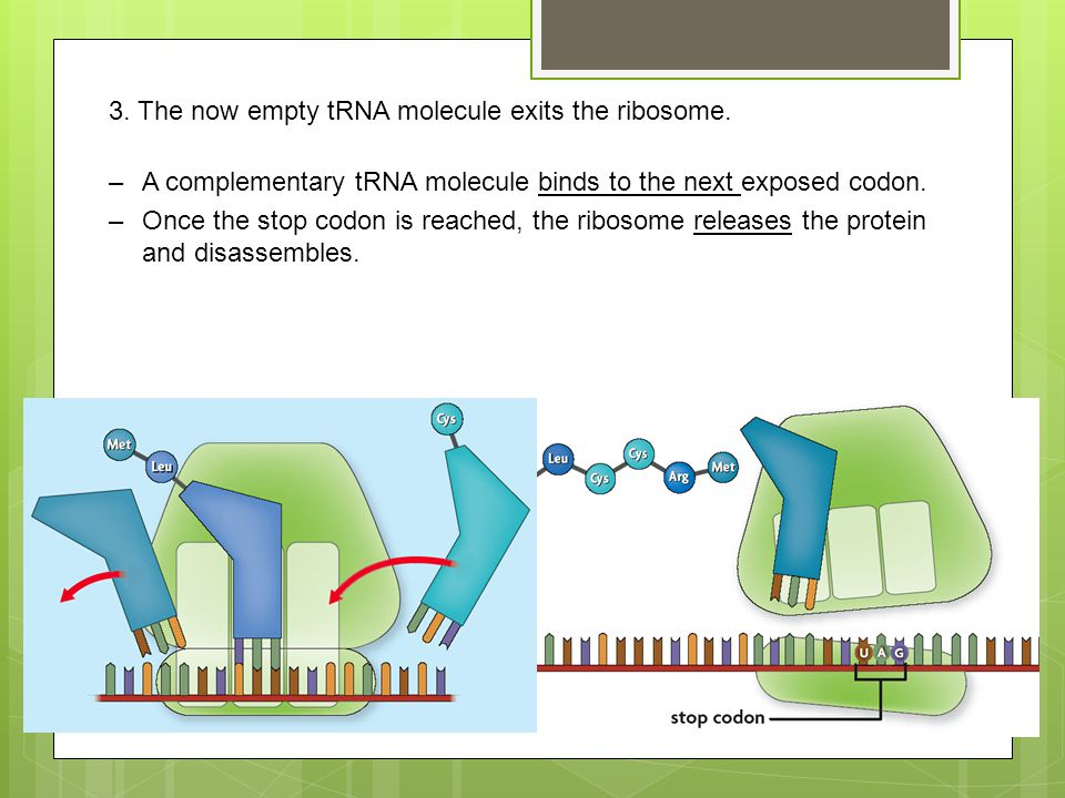 3. The now empty tRNA molecule exits the ribosome.