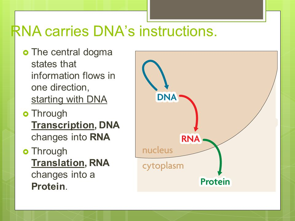 RNA carries DNA's instructions.