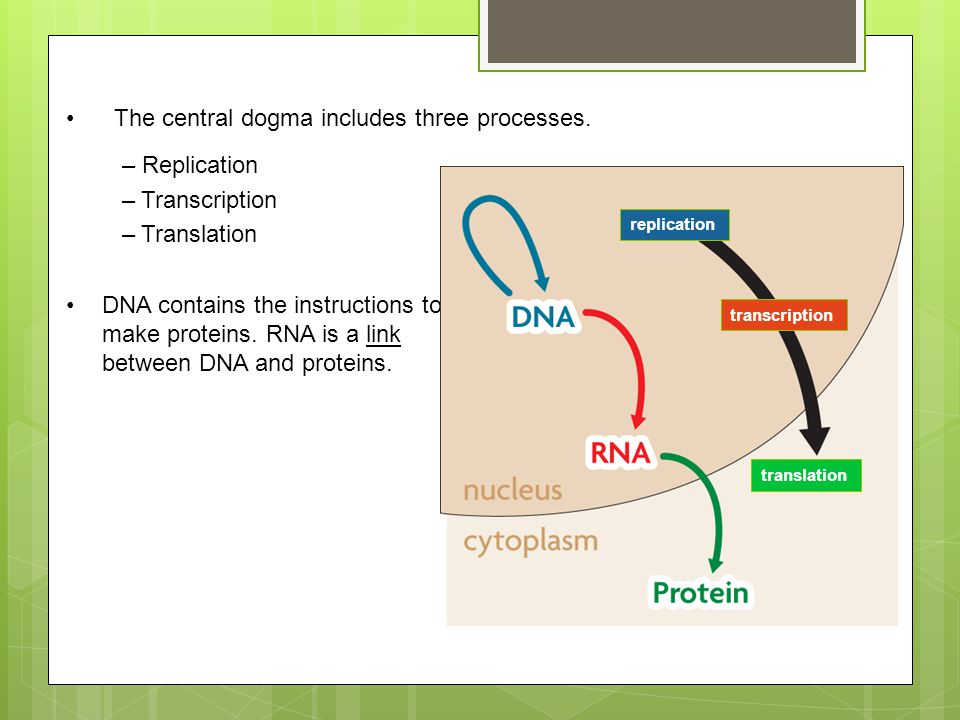 The central dogma includes three processes.