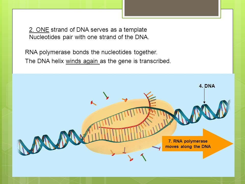 7. RNA polymerase moves along the DNA