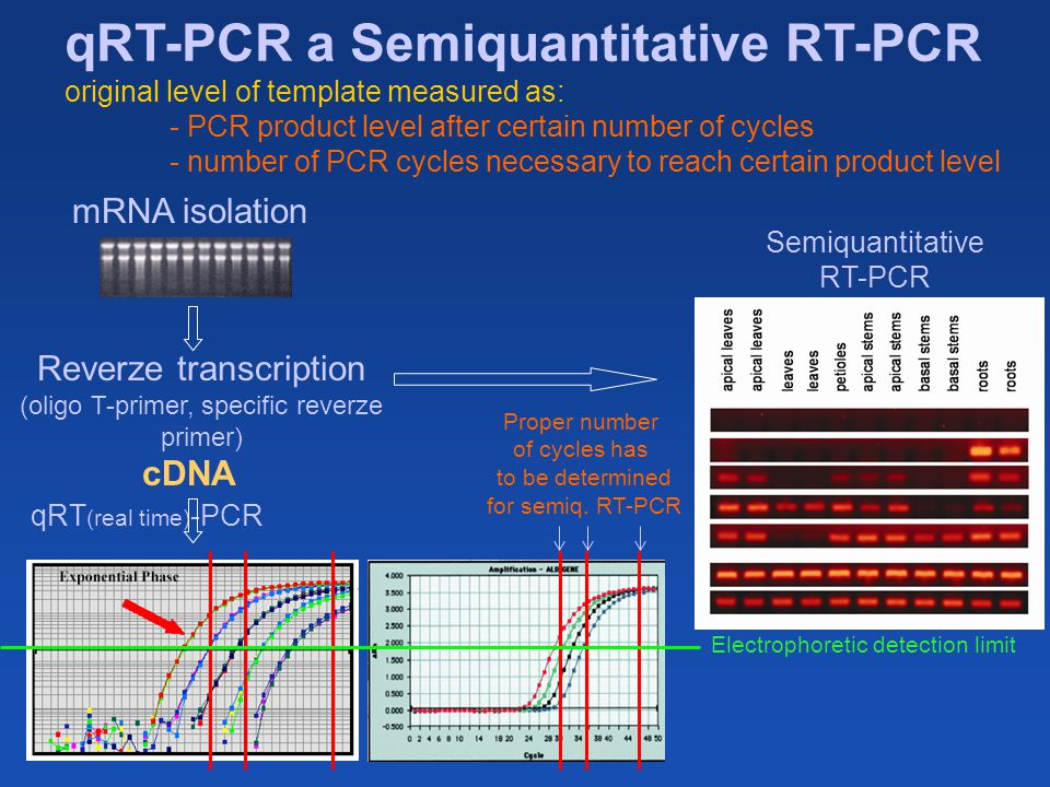 pcr template amount - and analysis of gene transcription ppt video online download