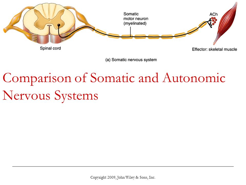 Chapter 15: The Autonomic Nervous System - ppt video ... | 960 x 720 jpeg 56kB