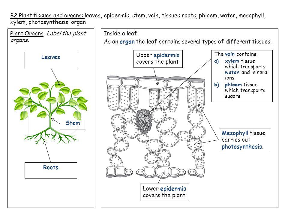 Plant organ leaf