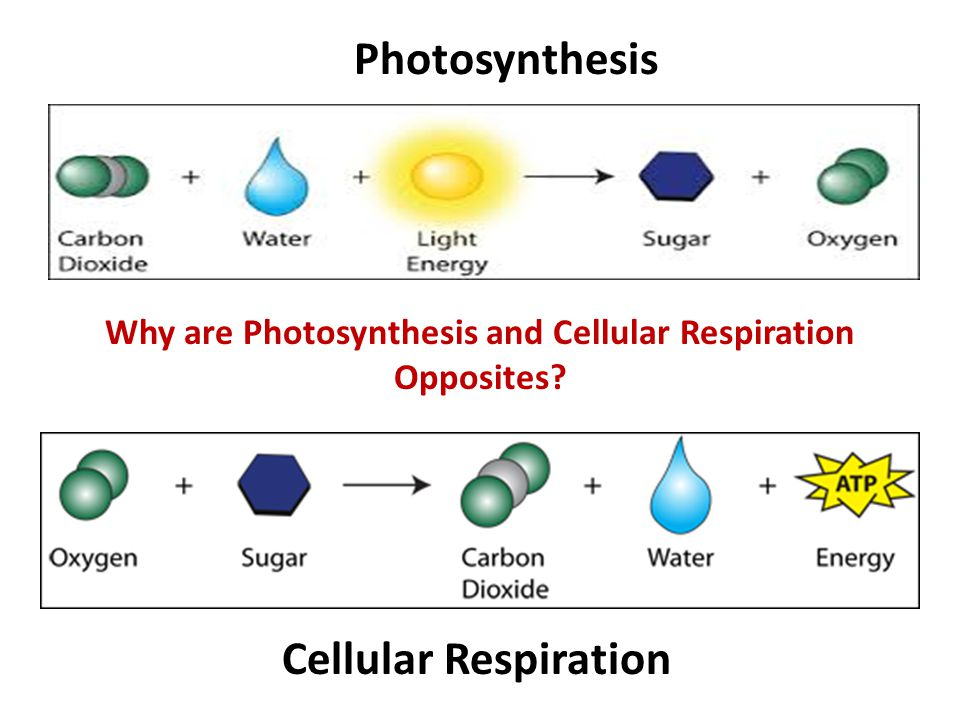 Energy: Cellular Respiration - ppt download