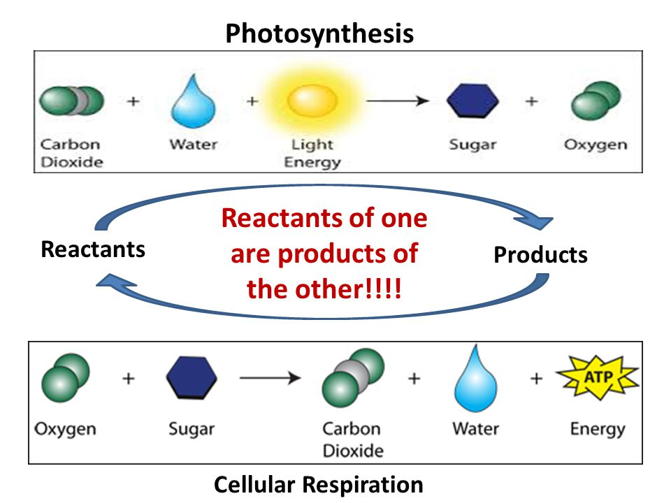 what are typically the reactants along with merchandise from cellular phone respiration