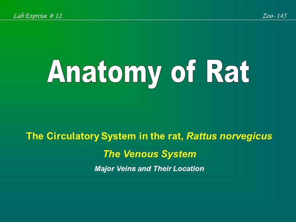 Anatomy Of Rat The Circulatory System In The Rat Rattus Norvegicus