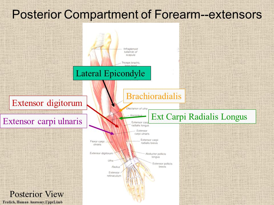 Posterior Compartment of Forearm--extensors