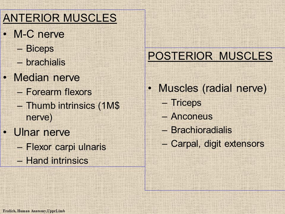 Muscles (radial nerve)