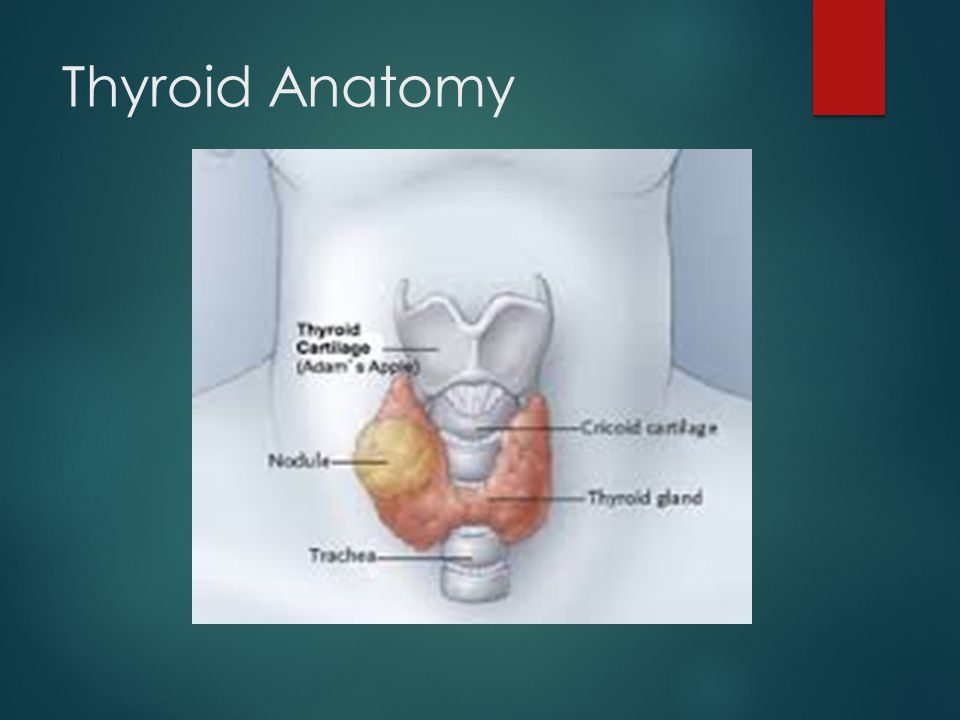 Anatomy of the thyroid