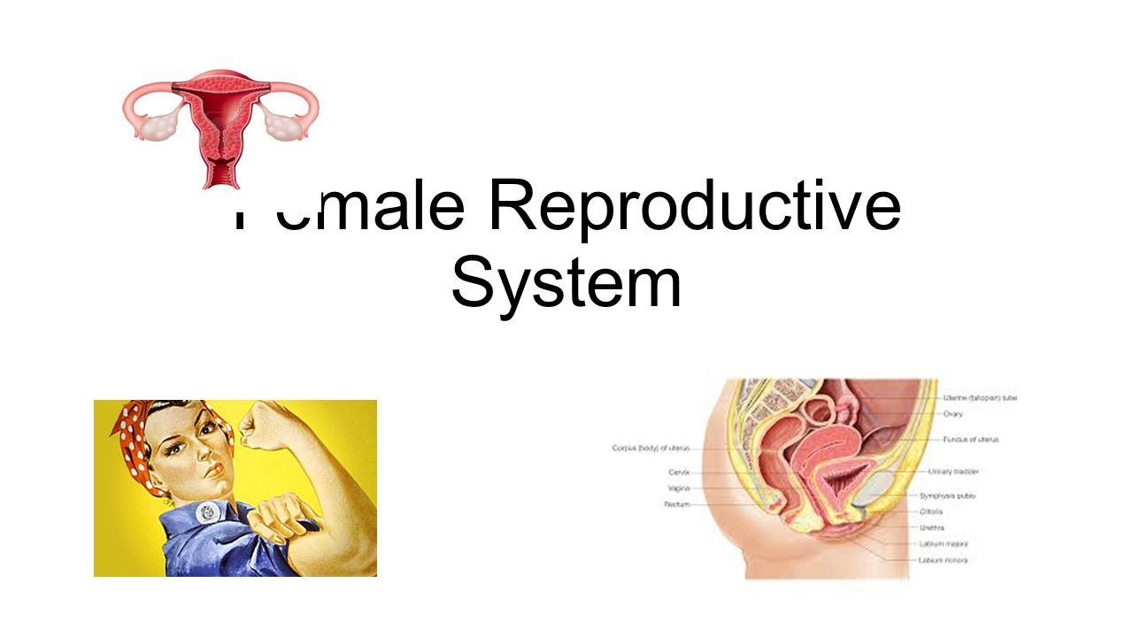 Female Reproductive System - TeensHealth