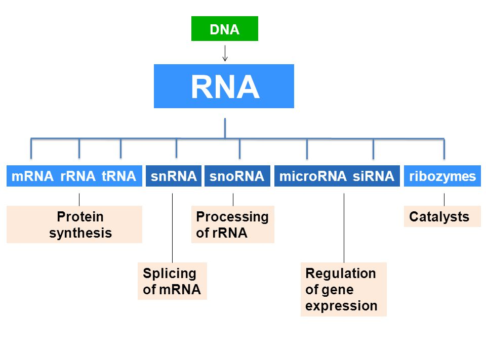 rna splicing protein synthesis regulation In rna splicing, specific parts of the pre-mrna, called introns are recognized and removed by a protein-and-rna complex called the spliceosome introns can be viewed as junk sequences that must be cut out so the good parts version of the rna molecule can be assembled.