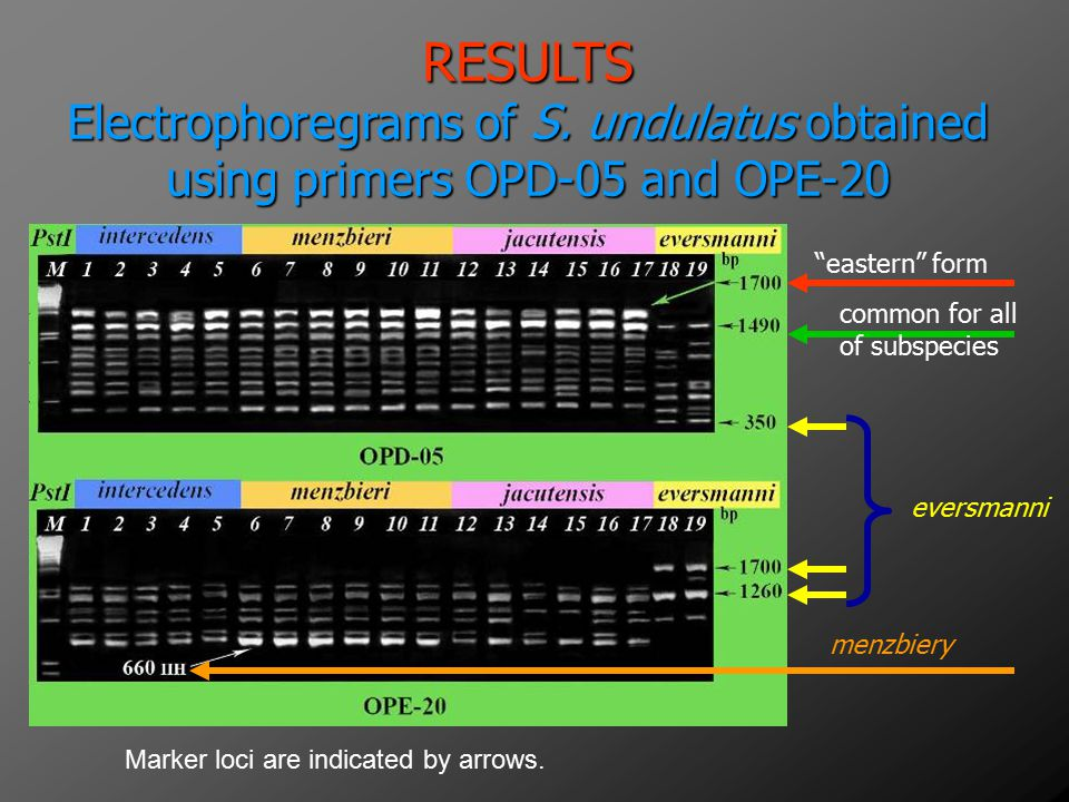 RESULTS Electrophoregrams of S. undulatus obtained using primers OPD-05 and OPE-20. eastern form.