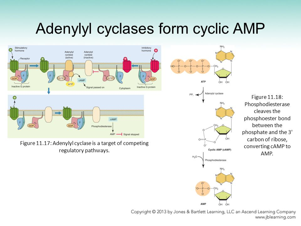 what is the relationship between adenylate cyclase and cyclic amp