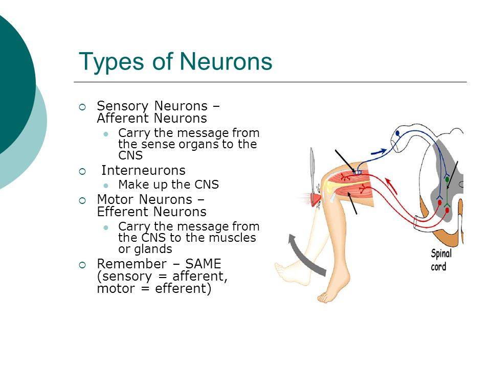 Brain notes ppt video online download types of neurons sensory neurons afferent neurons interneurons ccuart Gallery