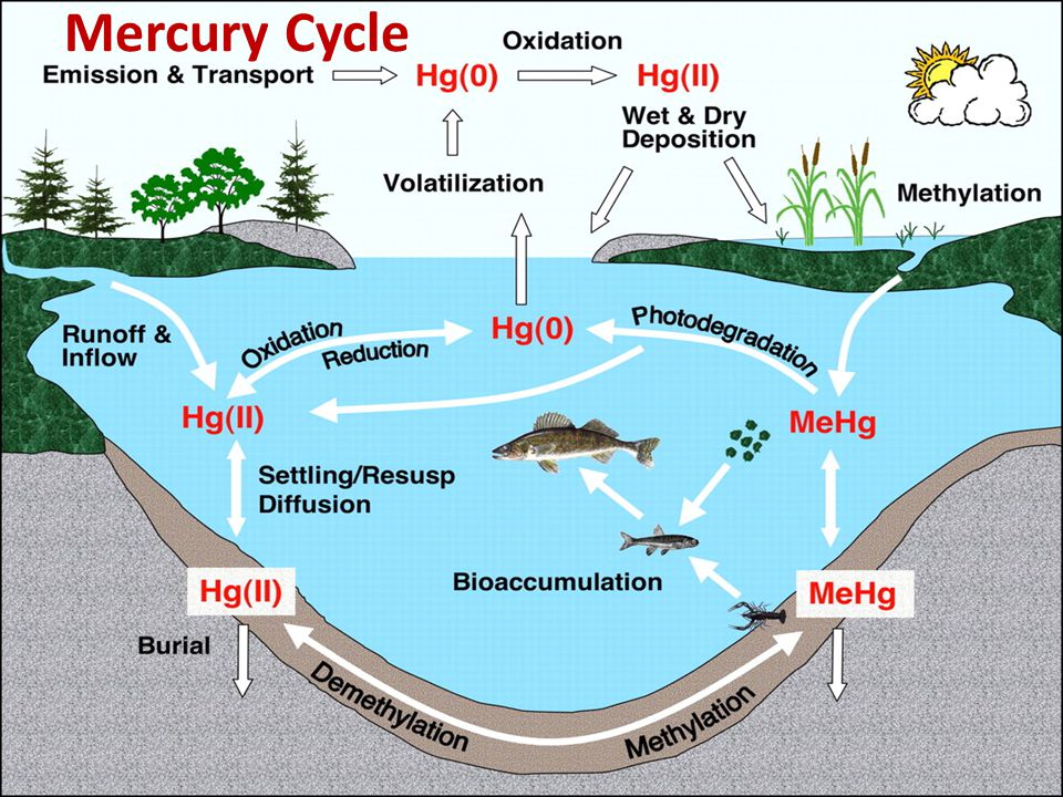 mercury in fish essay Although the liquid mercury in fever thermometers is less toxic than the form of mercury found in fish, inhaling it can still cause damage to the lungs.