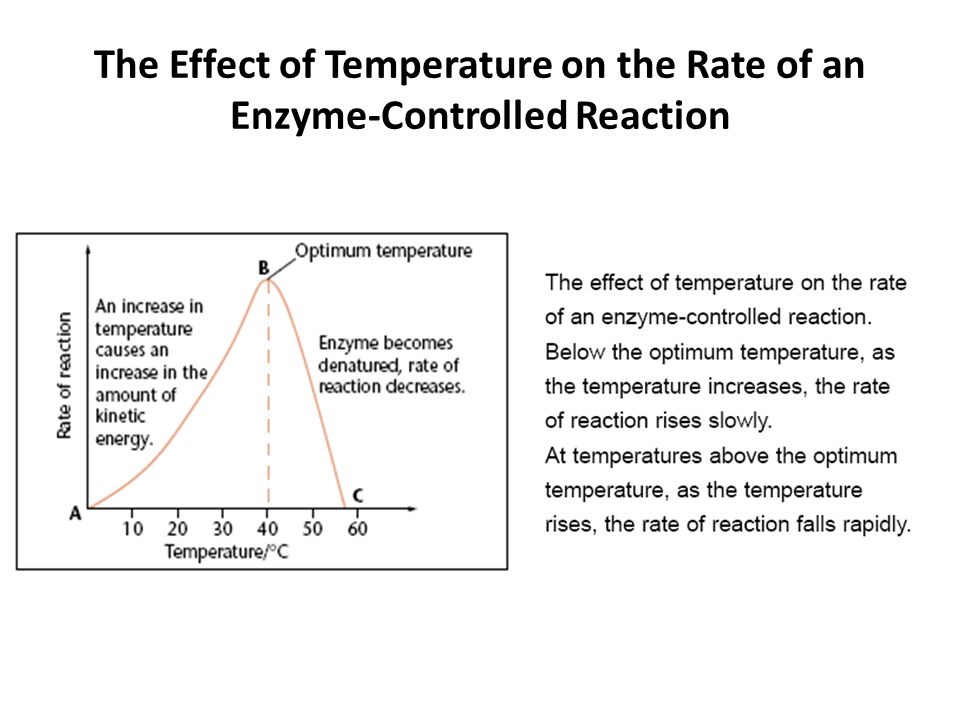 The Effect of Temperature on the Rate of an Enzyme-Controlled Reaction