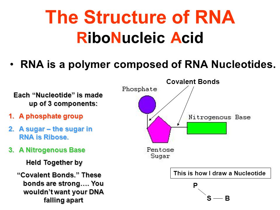 what is the makeup of a nucleotide