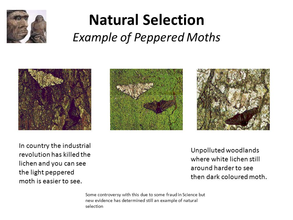 Natural Selection Moths Example
