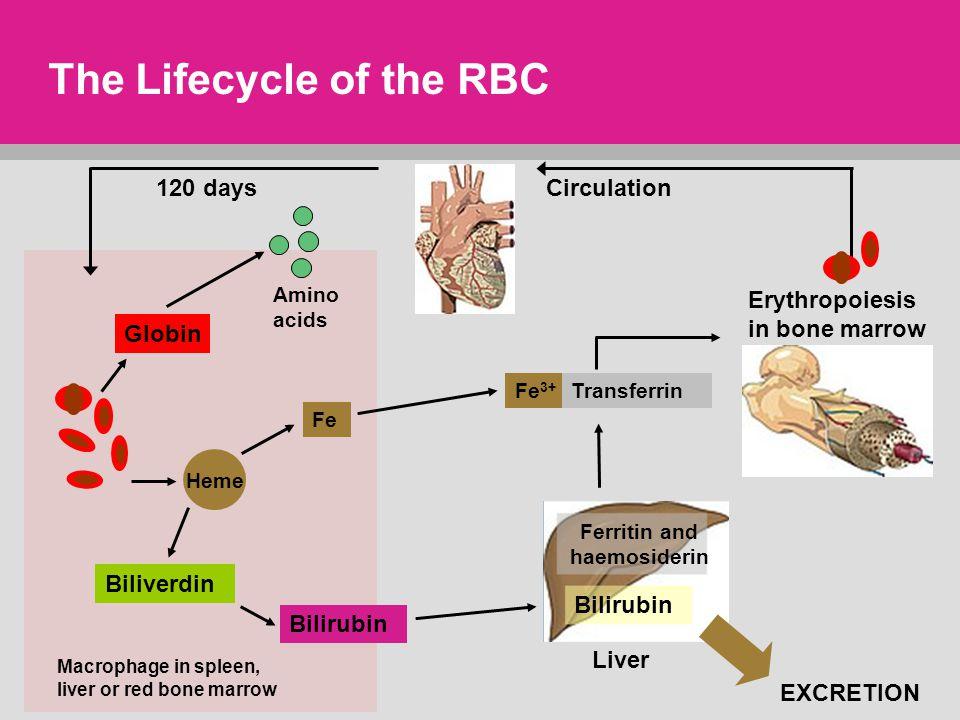 life cycle of rbc The life of a rbc  invited audience members will follow you as you navigate and present people invited to a presentation do not need a prezi account.