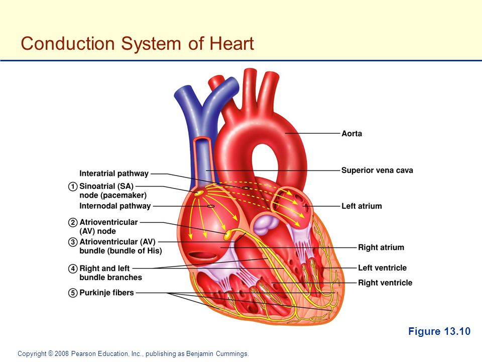 Unique Anatomy Of Conduction System Of Heart Collection - Human ...