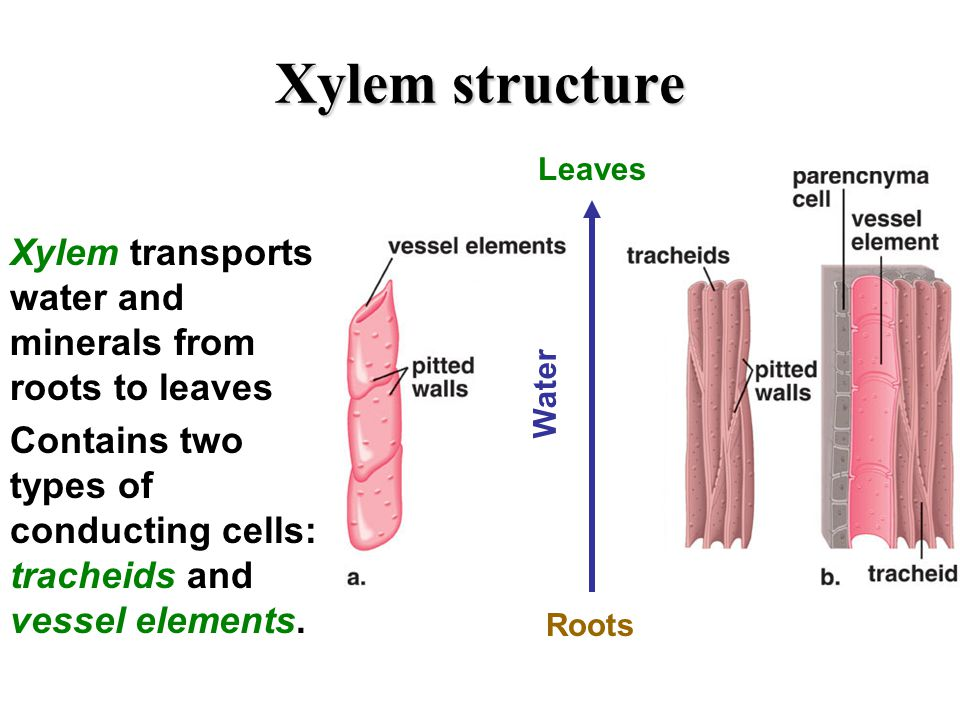 how to draw transverse section of xylem