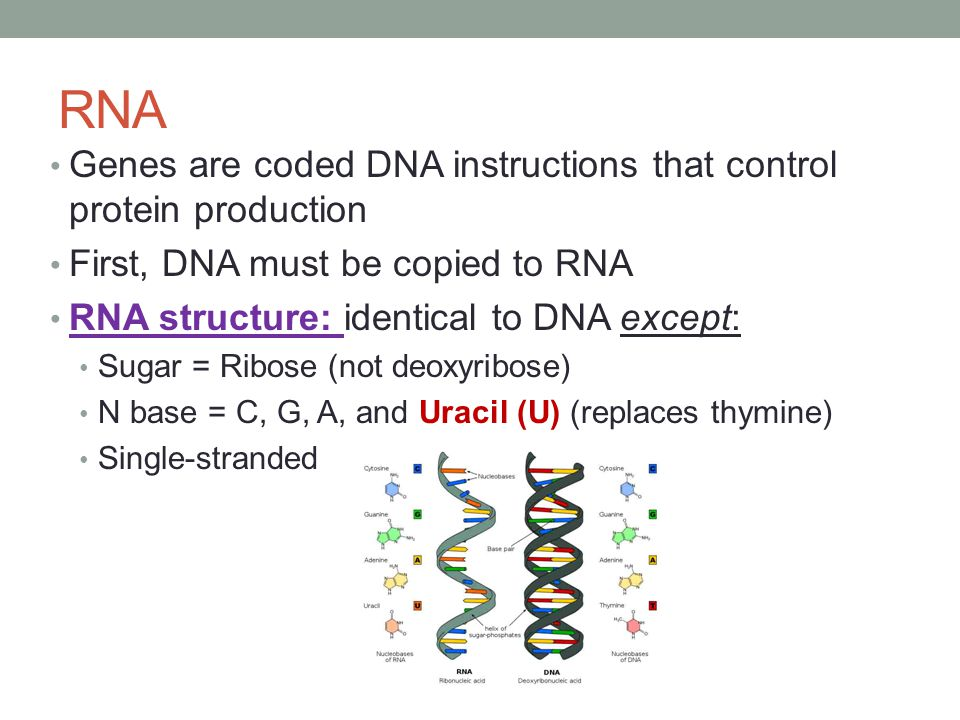 RNA Genes are coded DNA instructions that control protein production