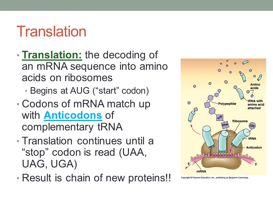 Translation Translation: the decoding of an mRNA sequence into amino acids on ribosomes. Begins at AUG ( start codon)