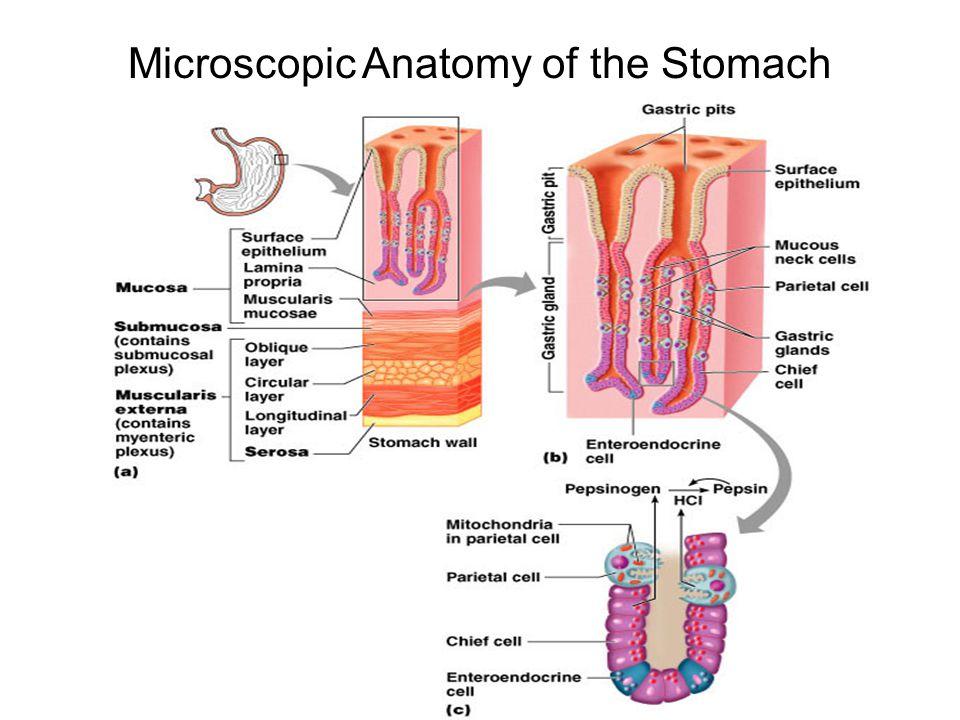 Nice Microscopic Anatomy Of Stomach Gift - Human Anatomy Images ...