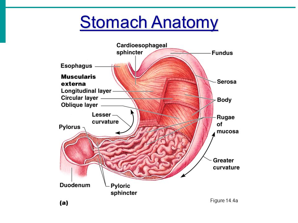 Frym 2016 likewise Royalty Free Stock Photography Human Bronchi Image5971247 moreover 8545359 further Functions Of Gastrointestinal System in addition Digestion Igcse. on functions of a body cavity