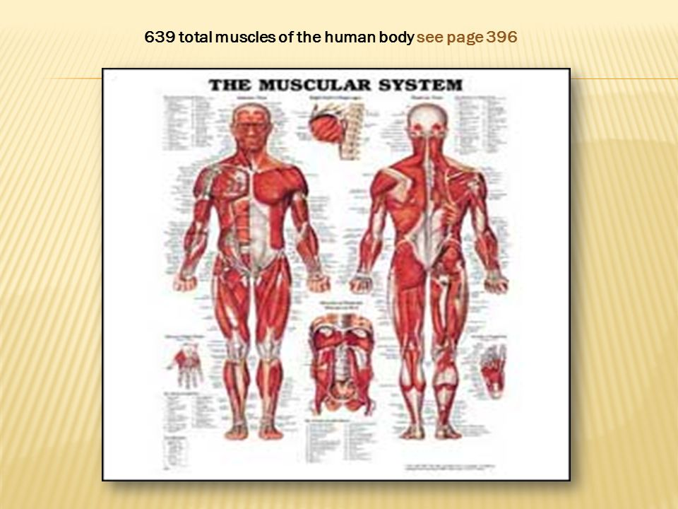 639 total muscles of the human body see page 396