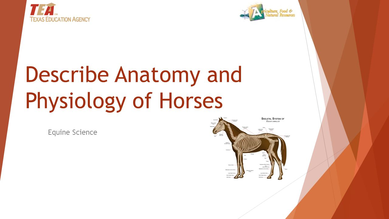 Describe Anatomy and Physiology of Horses - ppt video online download