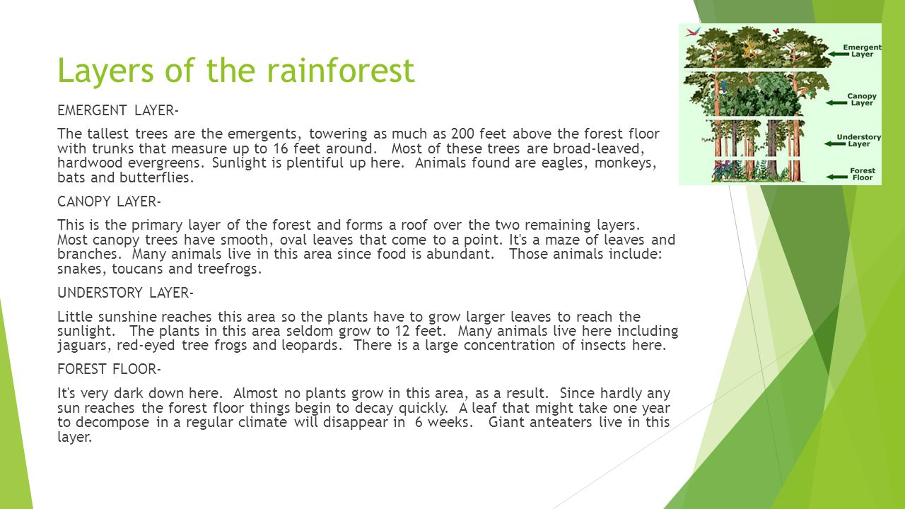 2 Layers of the rainforest  sc 1 st  SlidePlayer & Rainforest Facts. - ppt video online download