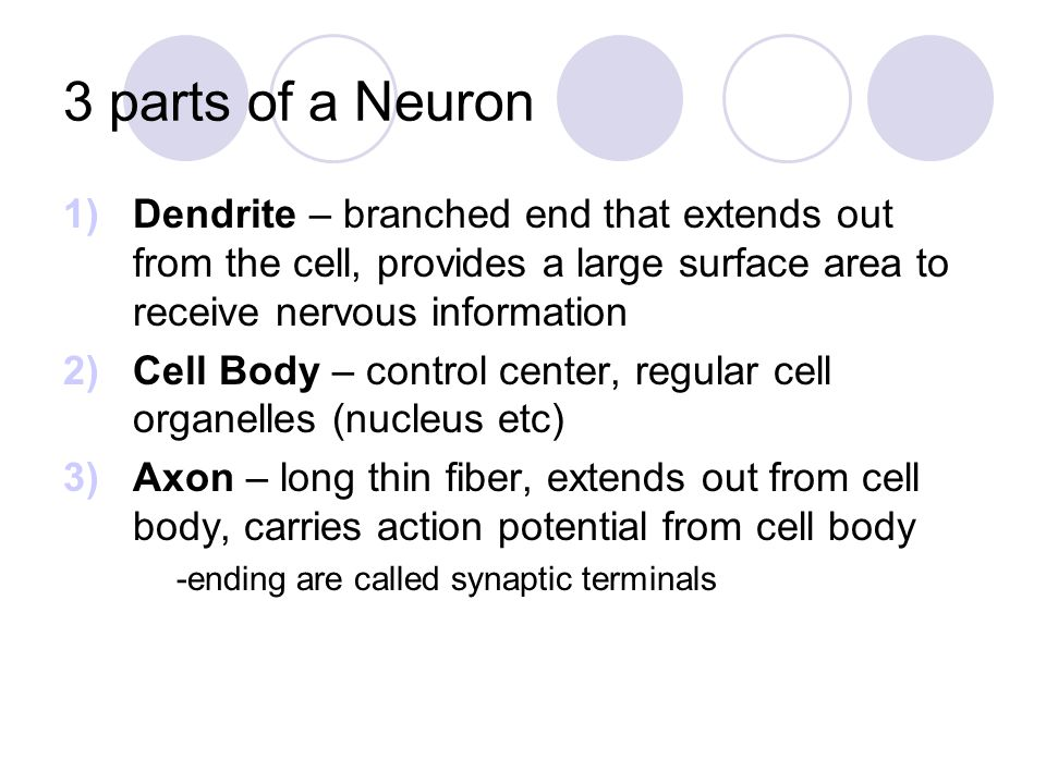 3 parts of a Neuron Dendrite – branched end that extends out from the cell, provides a large surface area to receive nervous information.