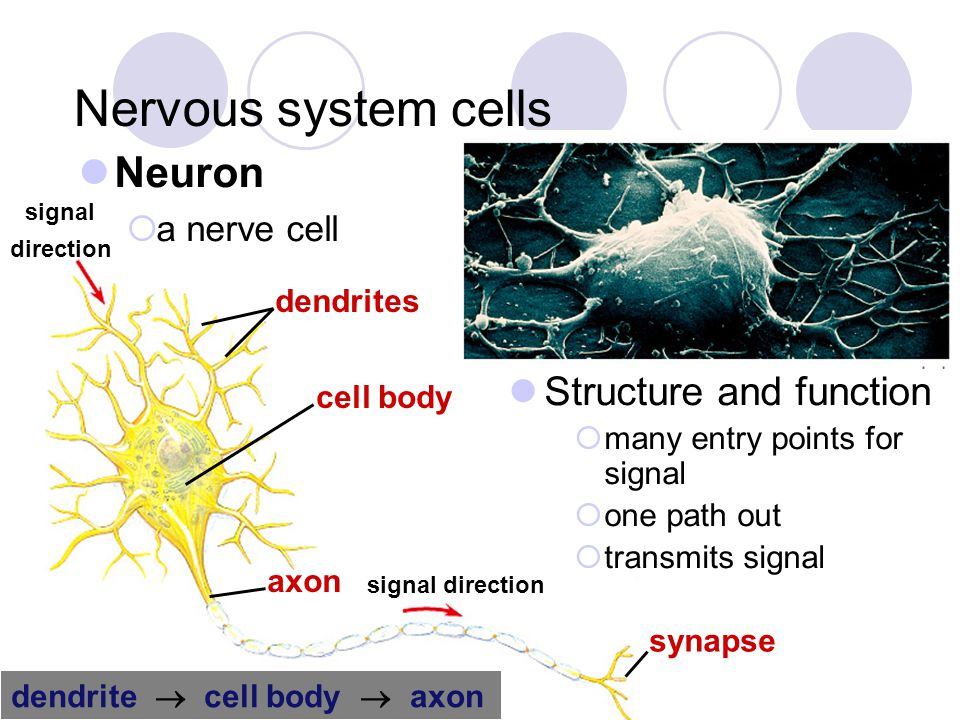 Nervous system cells Neuron Structure and function a nerve cell