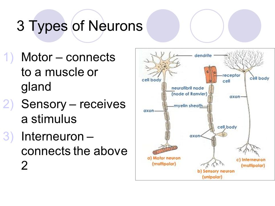 3 Types of Neurons Motor – connects to a muscle or gland