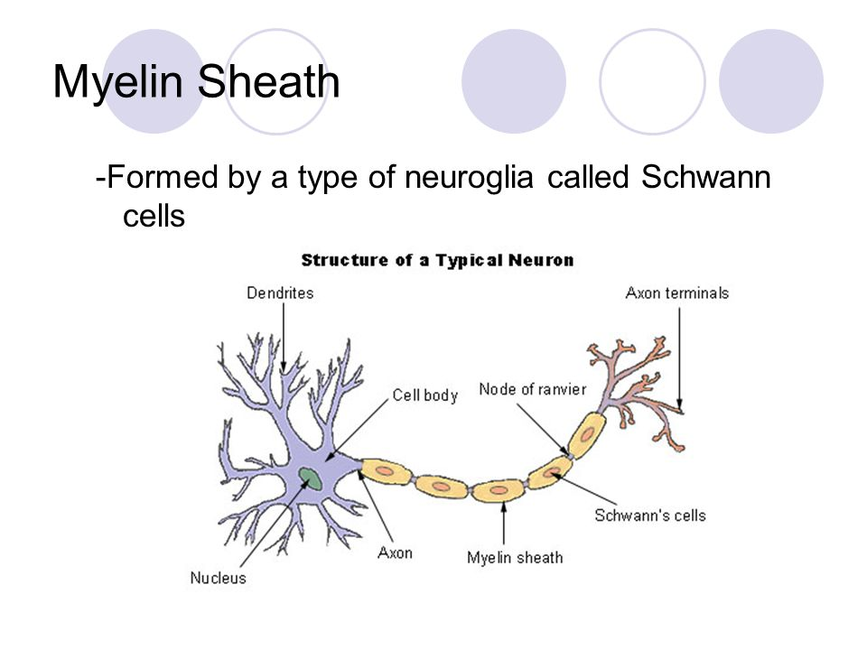 Myelin Sheath -Formed by a type of neuroglia called Schwann cells