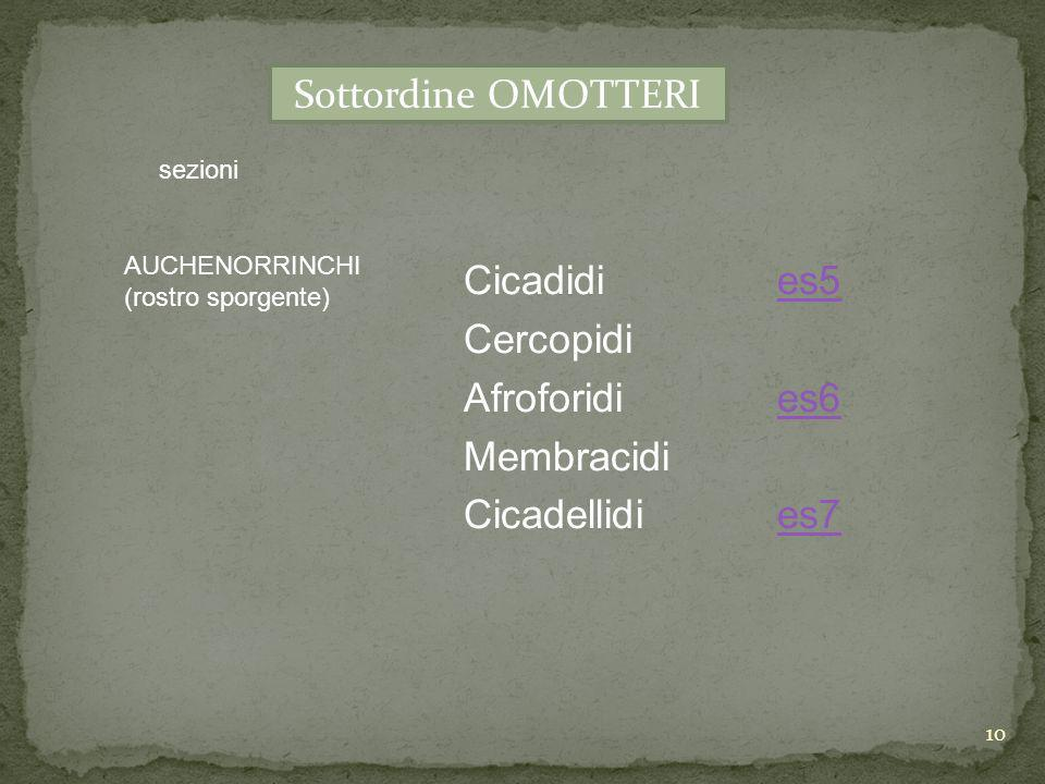Sottordine OMOTTERI Cicadidi es5 Cercopidi Afroforidi es6 Membracidi