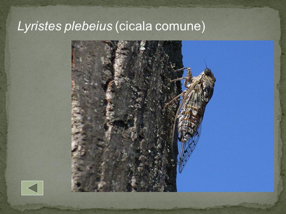 Lyristes plebeius (cicala comune)