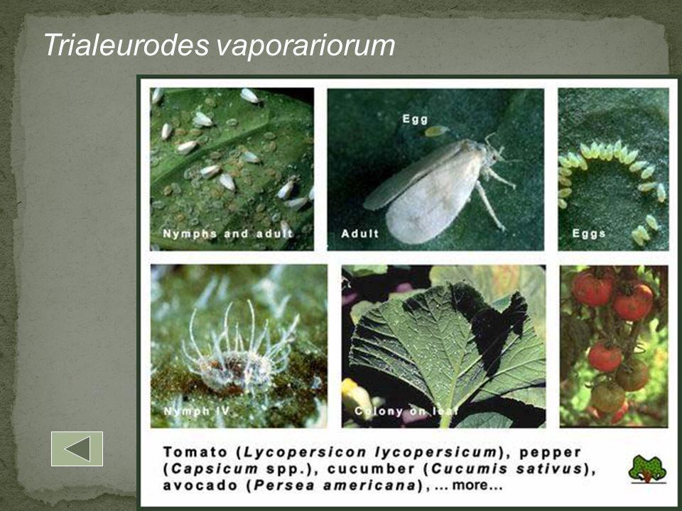 Trialeurodes vaporariorum