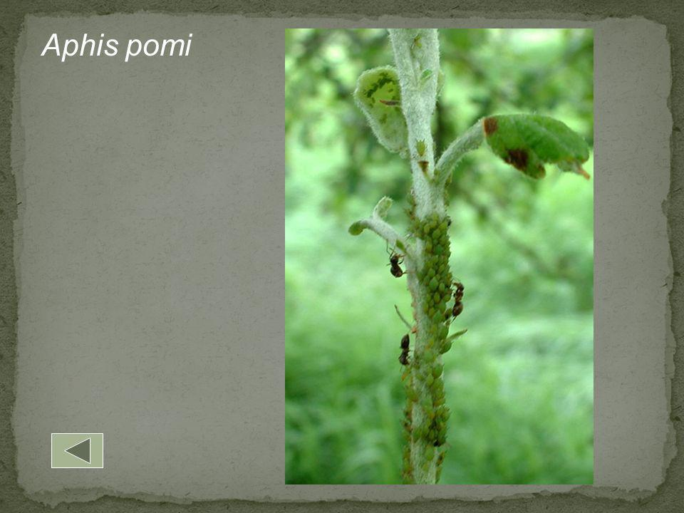 Aphis pomi