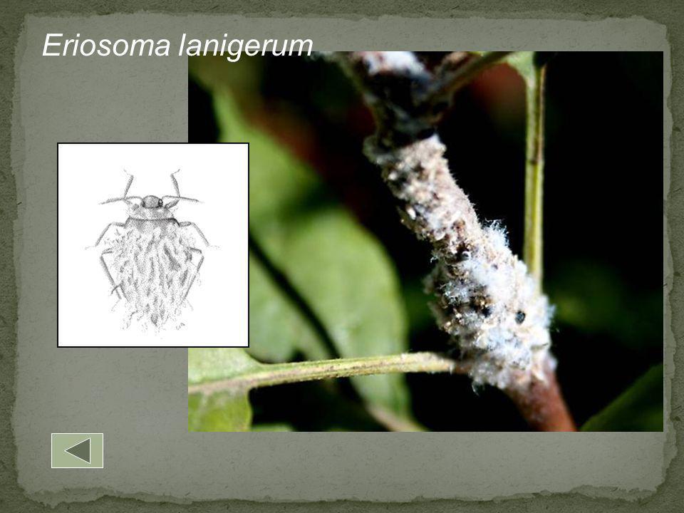 Eriosoma lanigerum