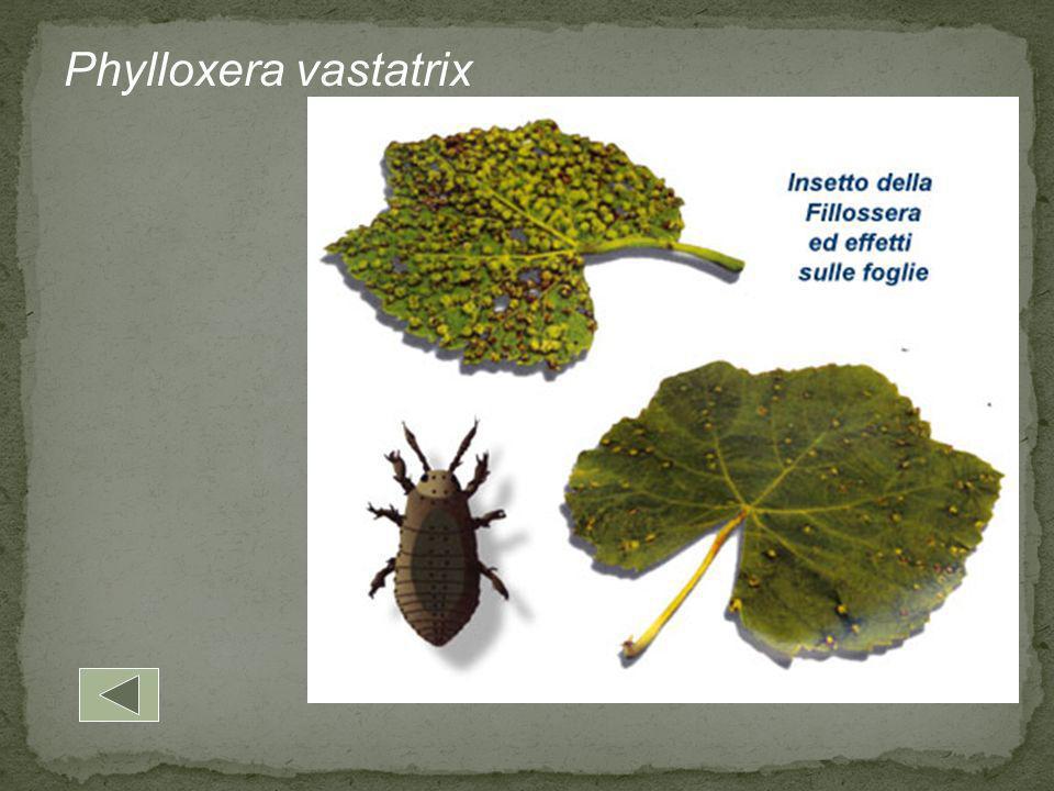 Phylloxera vastatrix