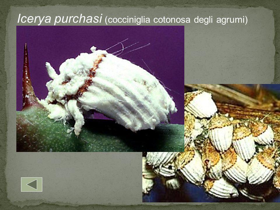 Icerya purchasi (cocciniglia cotonosa degli agrumi)