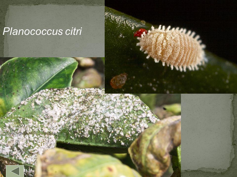 Planococcus citri